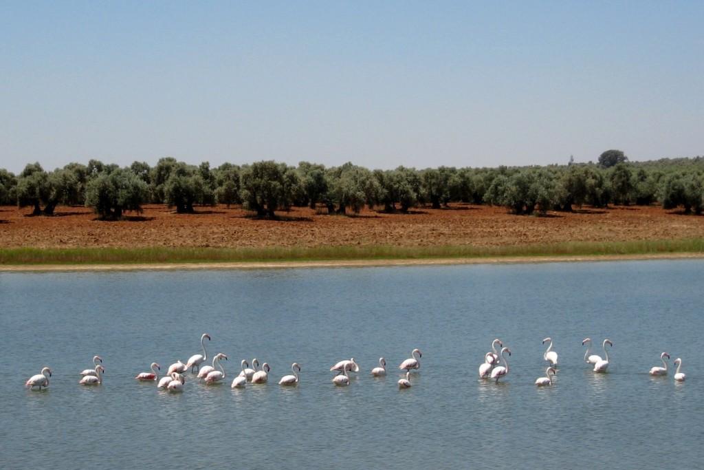 Olivares al margen de la Laguna de la Ratosa