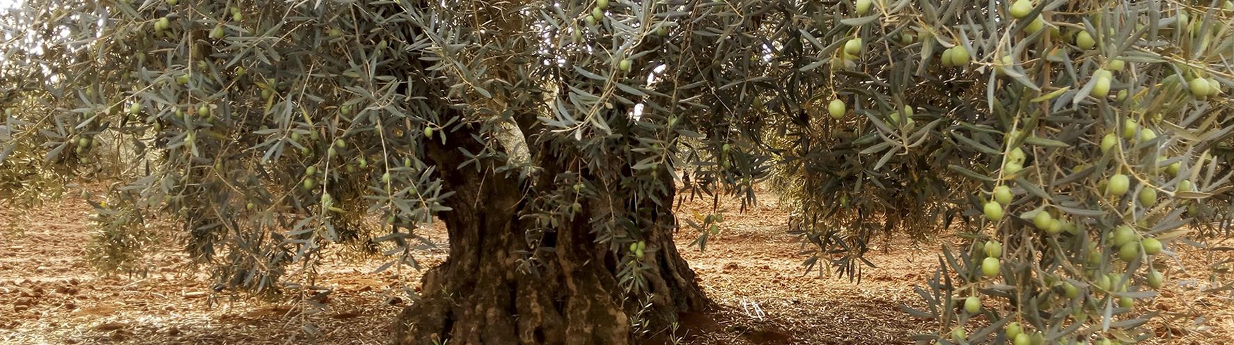 centenial olive tree