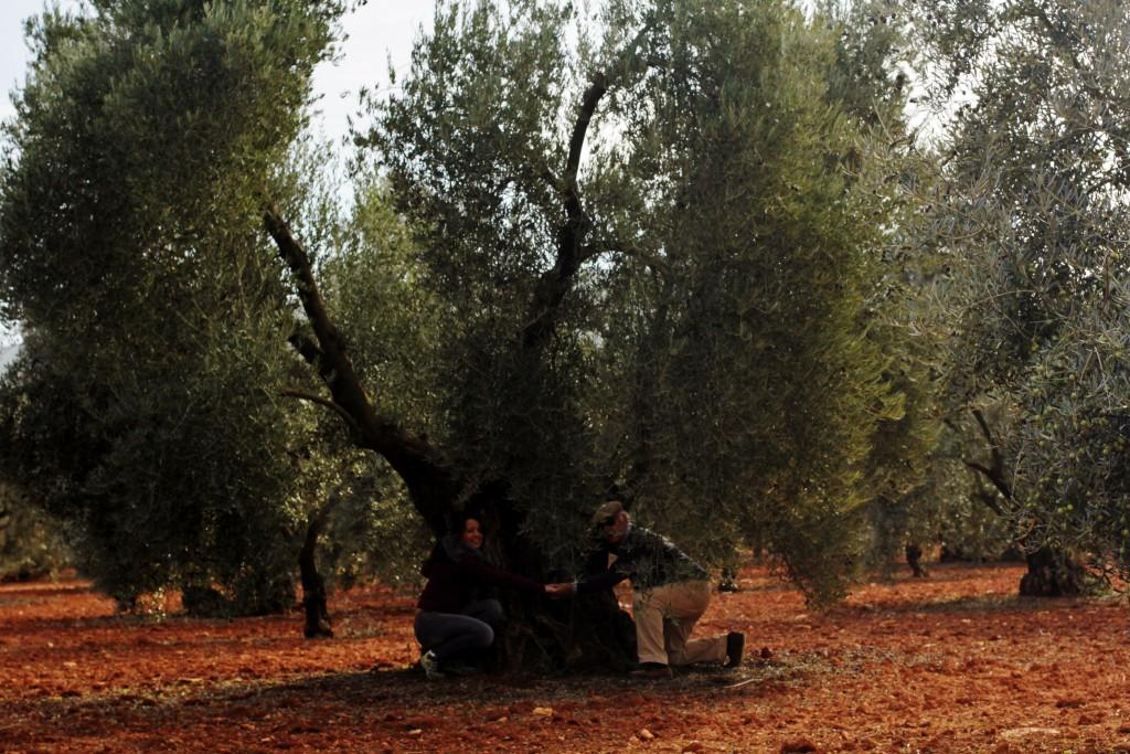 Porte de un olivo centenario