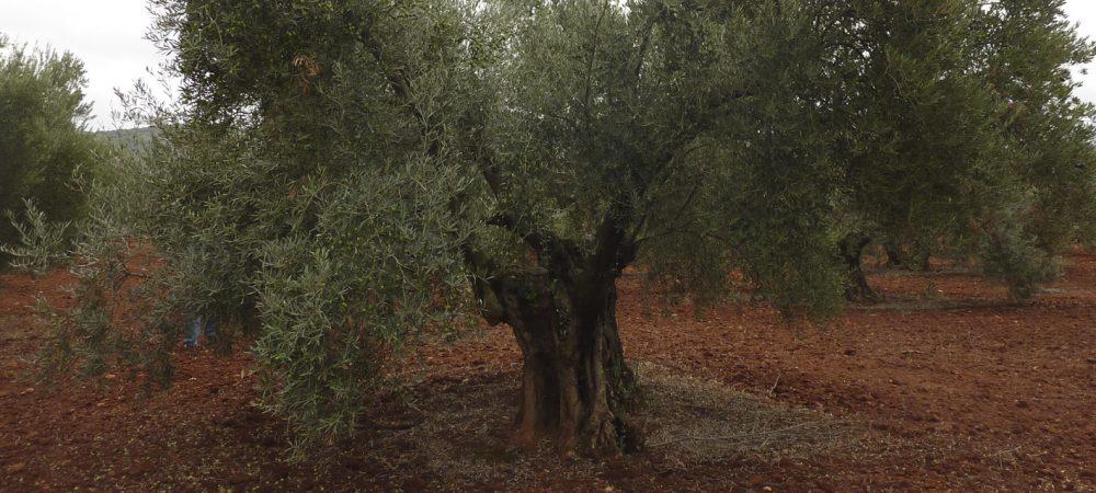 olivo centenario retorcido