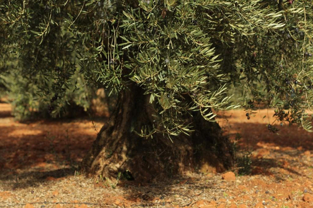 Porte de olivo centenario