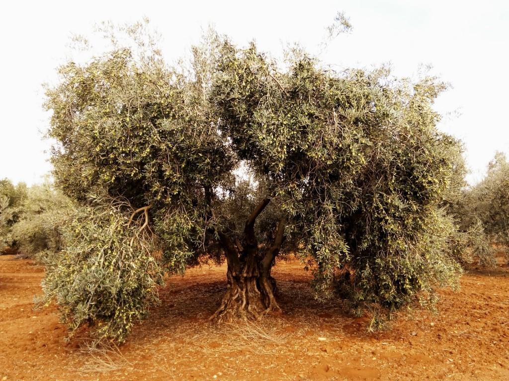 Olivo centenario con aceitunas