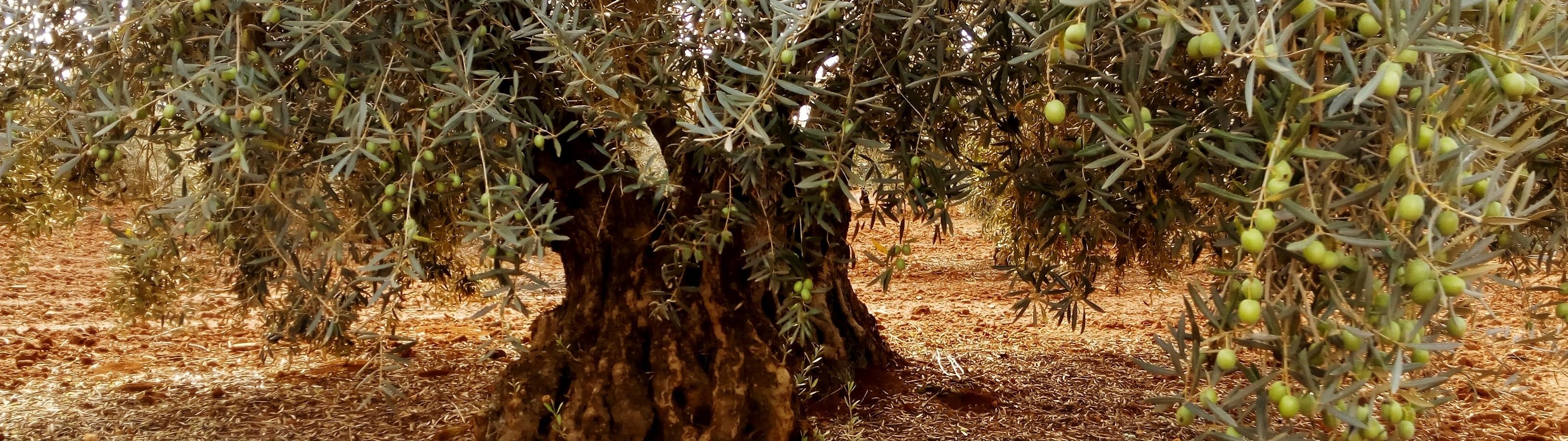 Aceite de Olivos Centenarios