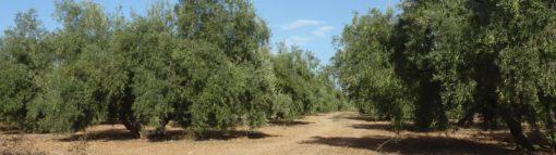 Olivar. Agricultura tradicional