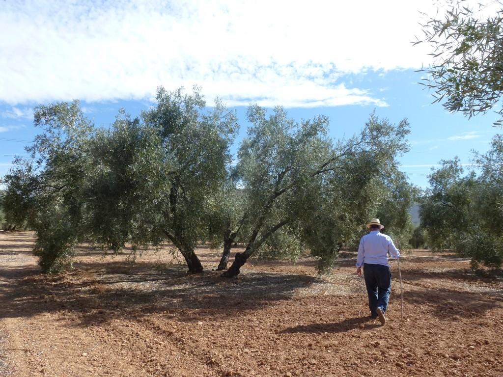 Entre los olivos