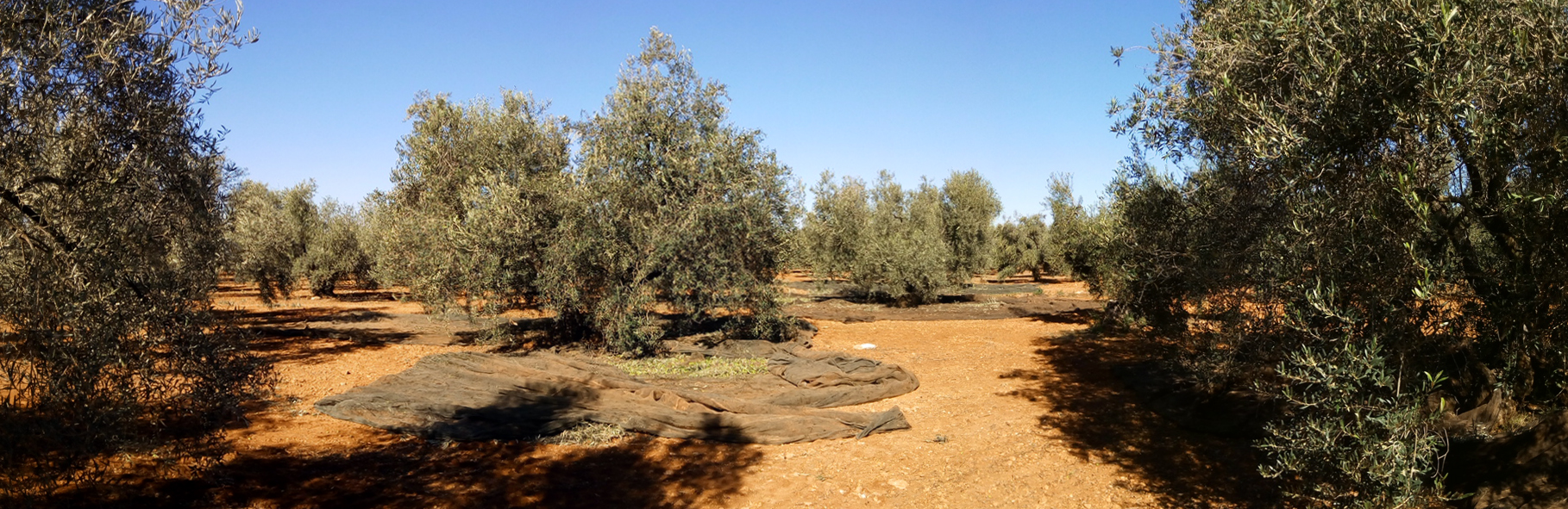 harvesting centenarian olive trees