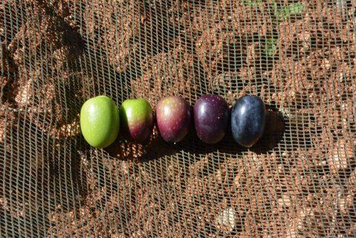 los colores de la aceituna