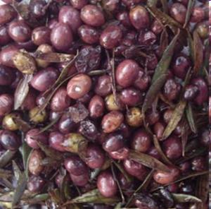 elaboracion aceite de oliva