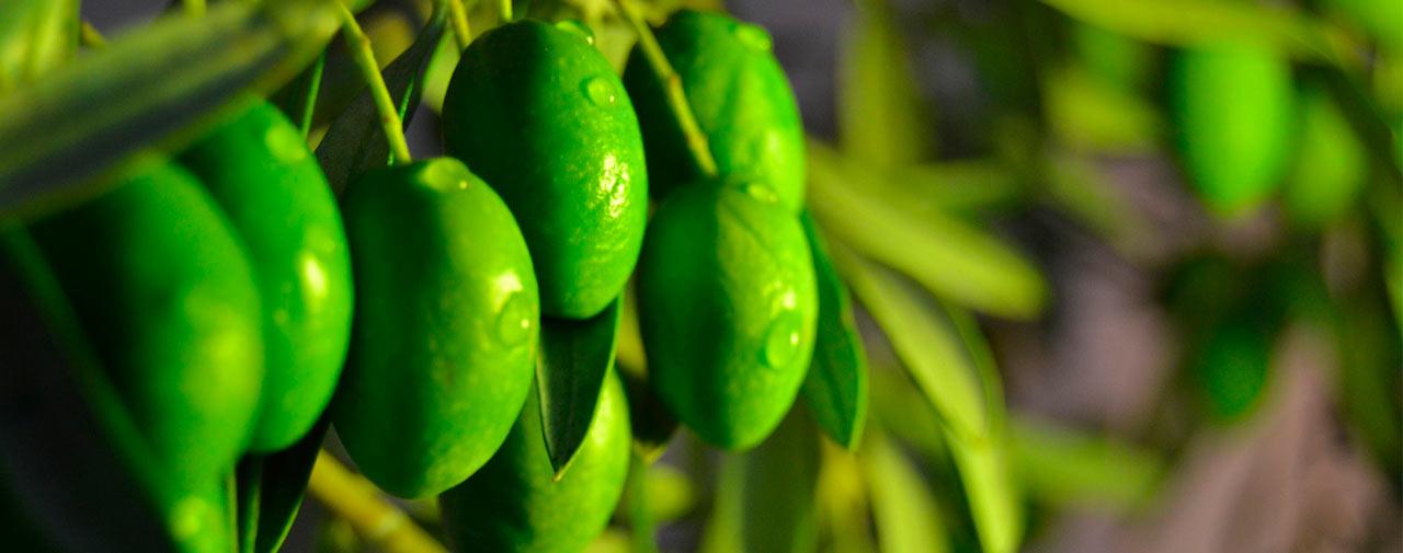 Unterschied zwischen Olivenöl und nativem Olivenöl extra